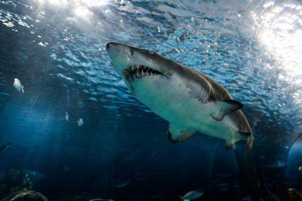 Características del Tiburón Blanco: fotos, hábitat, alimentación y carácter dientes