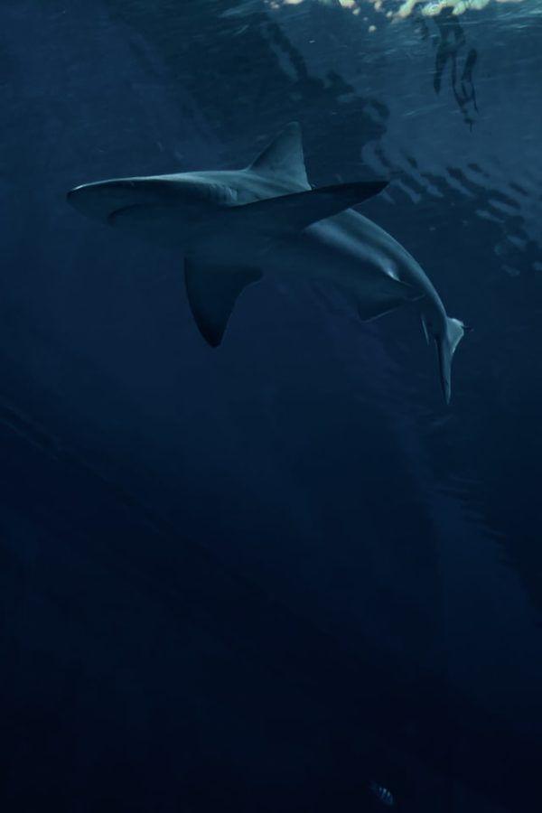 Características del Tiburón Blanco: fotos, hábitat, alimentación y carácter dónde vive