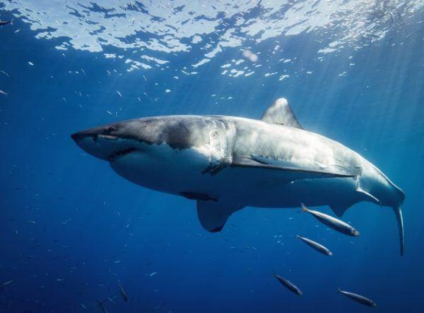 Características del Tiburón Blanco: fotos, hábitat, alimentación y carácter peso