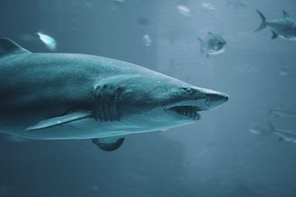 Características del Tiburón Blanco: fotos, hábitat, alimentación y carácter muertes humanos