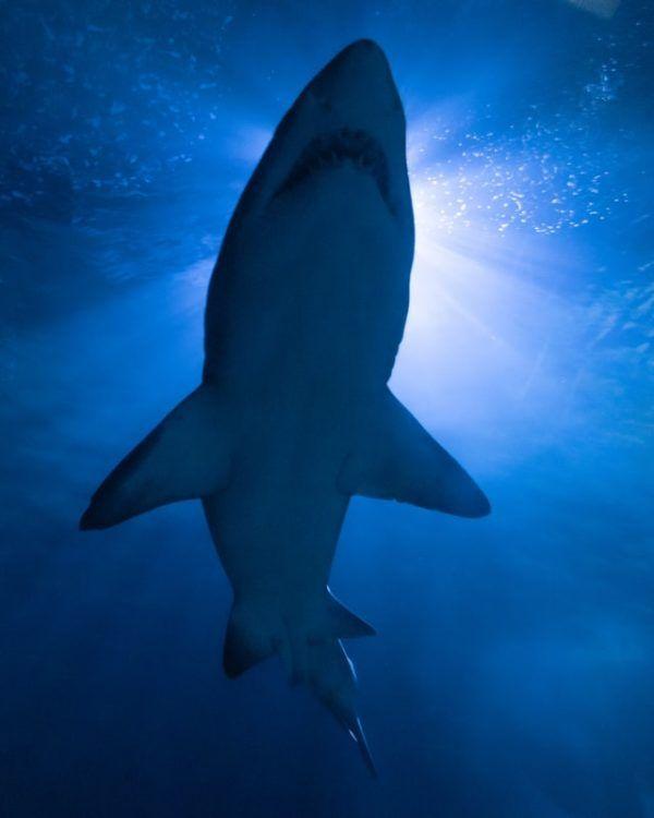 Características del Tiburón Blanco: fotos, hábitat, alimentación y carácter tamaño