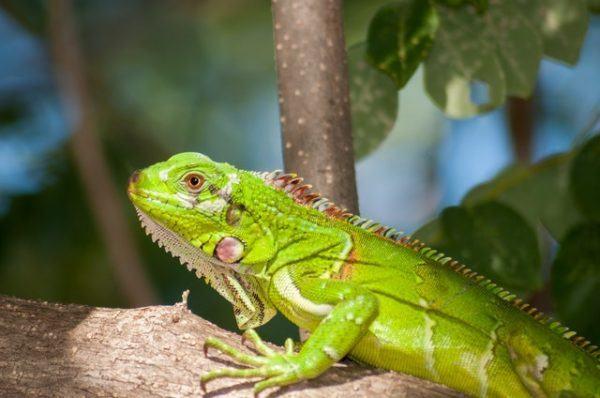 Los mejores nombres para iguanas características