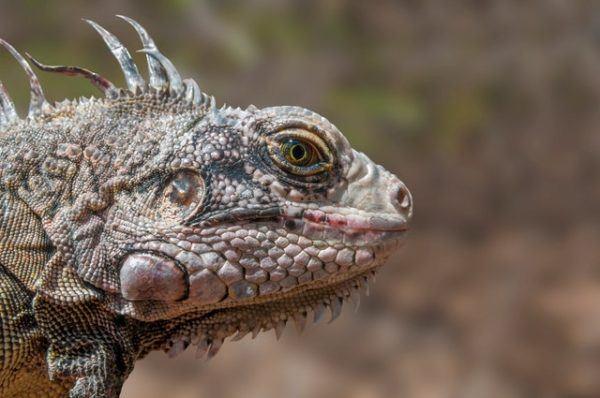 Los mejores nombres para iguanas datos