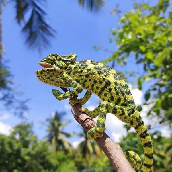 Los mejores nombres para iguanas Japón