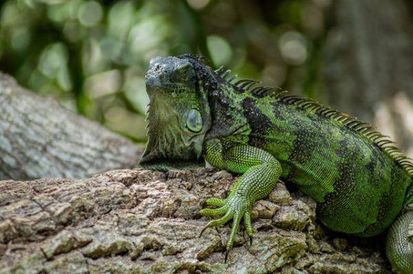 Los mejores nombres para iguanas macho
