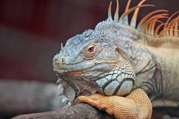Los mejores nombres para iguanas precio