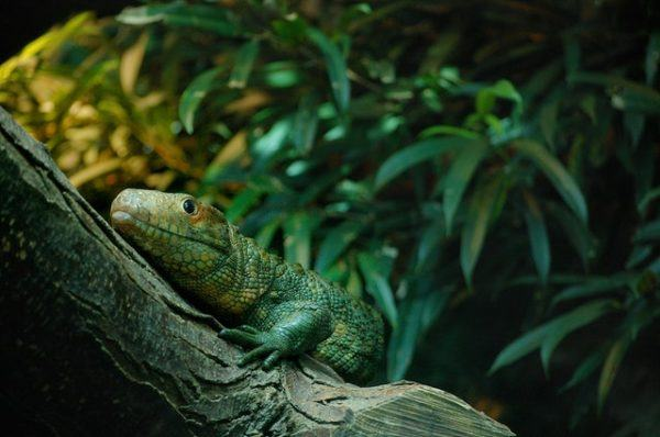 Los mejores nombres para iguanas verde