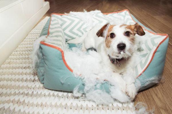 Por que mi perro rasca su cama 1