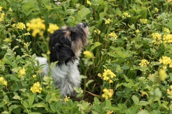 Espigas en perros peligros sintomas trucos