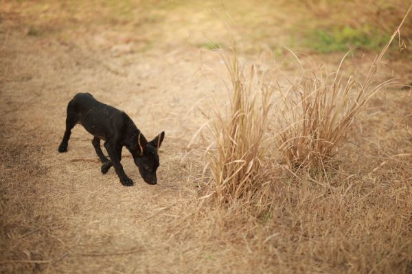 Perro paseando entre espigas