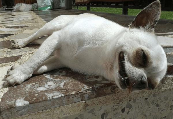 Golpes de calor en perros: qué es, síntomas, tratamiento y peligros sed