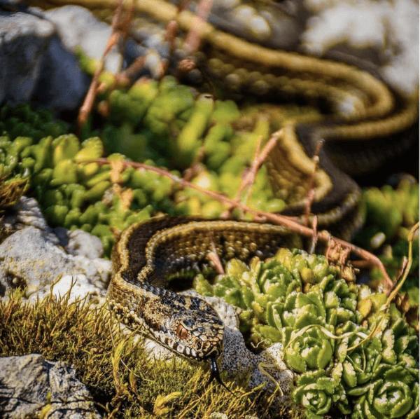 ¿Cuáles son las serpientes más peligrosas de Europa? Víbora Seoane