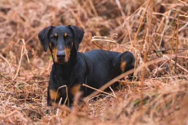 Las mejores razas de perros para el verano Doberman Pinscher