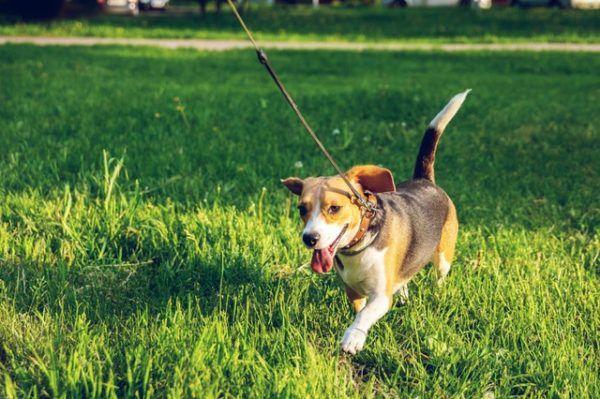 Las mejores razas de perros para el verano Beagle