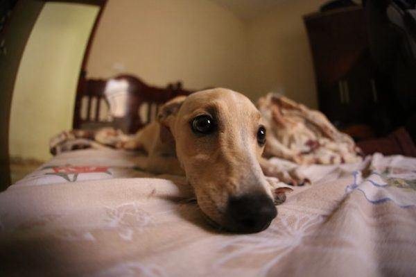 Las mejores razas de perros para el verano Galgo