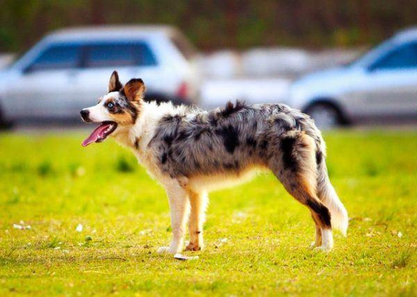 Las mejores razas de perros para el verano Pastor Australiano