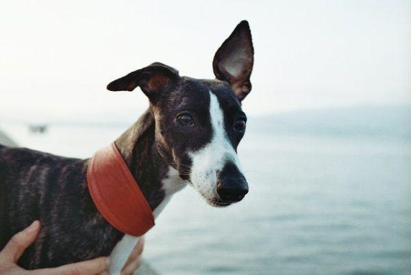 Las mejores razas de perros para el verano Whippet