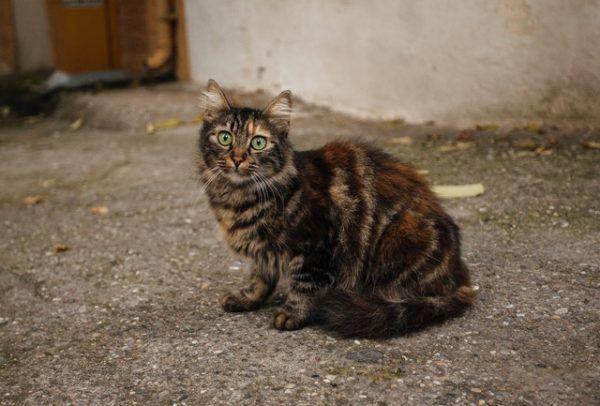 Las razas de gato que mejor soportan el calor del verano Burnés