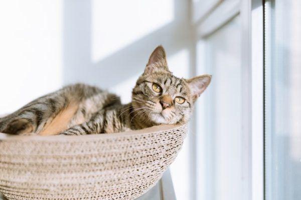 Las razas de gato que mejor soportan el calor del verano Chaussie