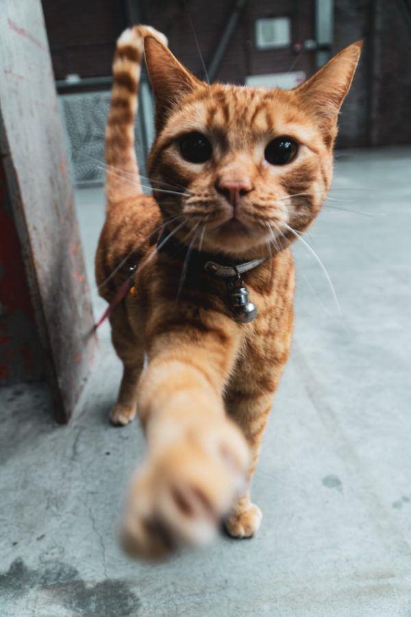 Las razas de gato que mejor soportan el calor del verano Savannah