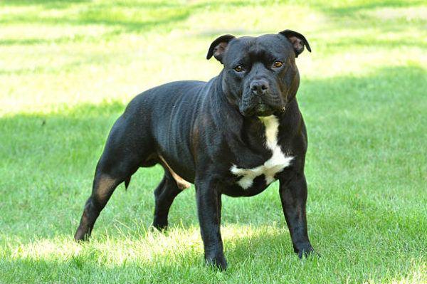 Los perros mas peligrosos del mundo American Staffordshire Terrier