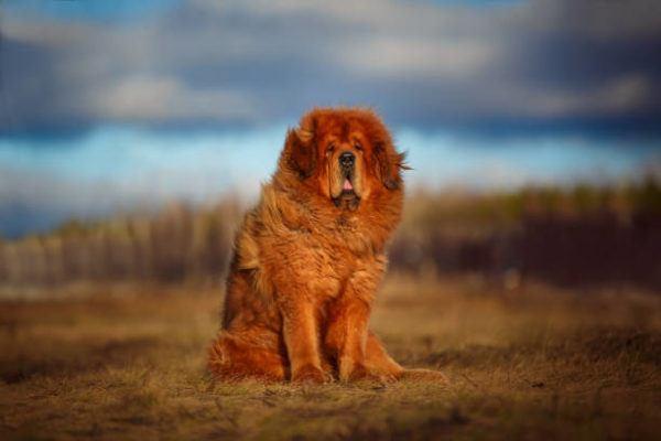 Los perros mas peligrosos del mundo Dogo del tíbet