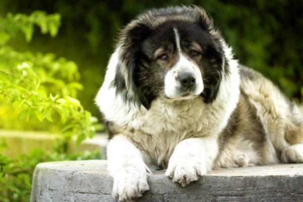 Los perros mas peligrosos del mundo Pastor caucásico