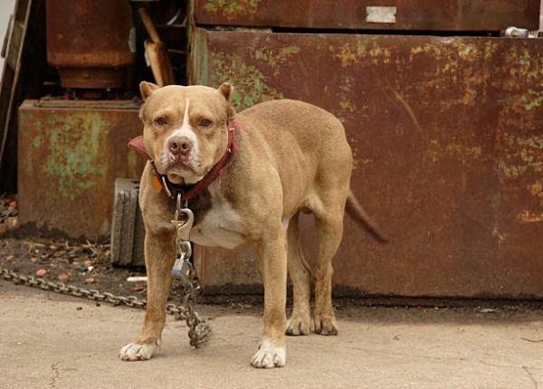 Los perros mas peligrosos del mundo pitbull
