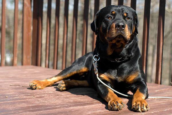 Los perros mas peligrosos del mundo rotweiler