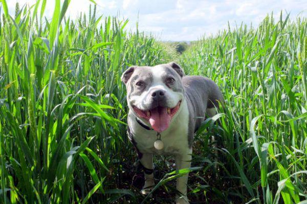 Que es un pitbull y cuales son todos sus tipos caracteristicas como criar y cuidar pitbull Staffordshire bull terrier