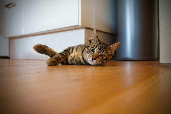 Los 10 trucos más inteligentes para gatos tumbado