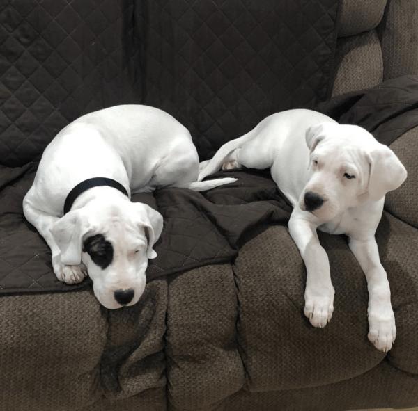 Tipos de Dogos: cuáles son y sus características Americano