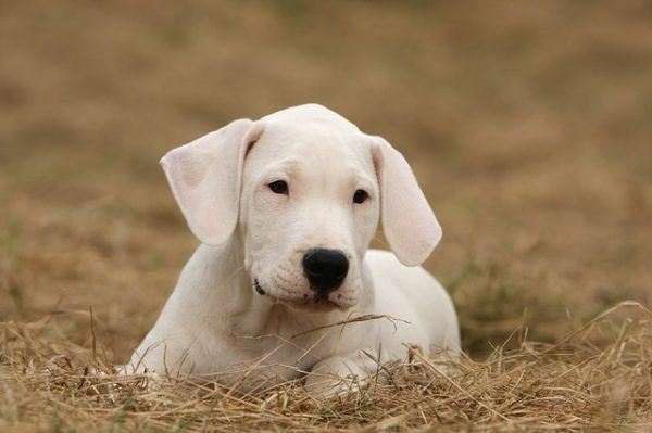 Tipos de Dogos: cuáles son y sus características Argentino
