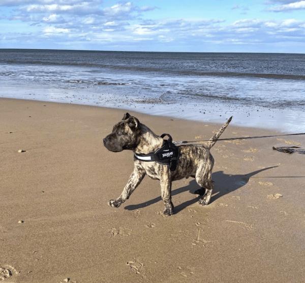 Tipos de Dogos: cuáles son y sus características Canario
