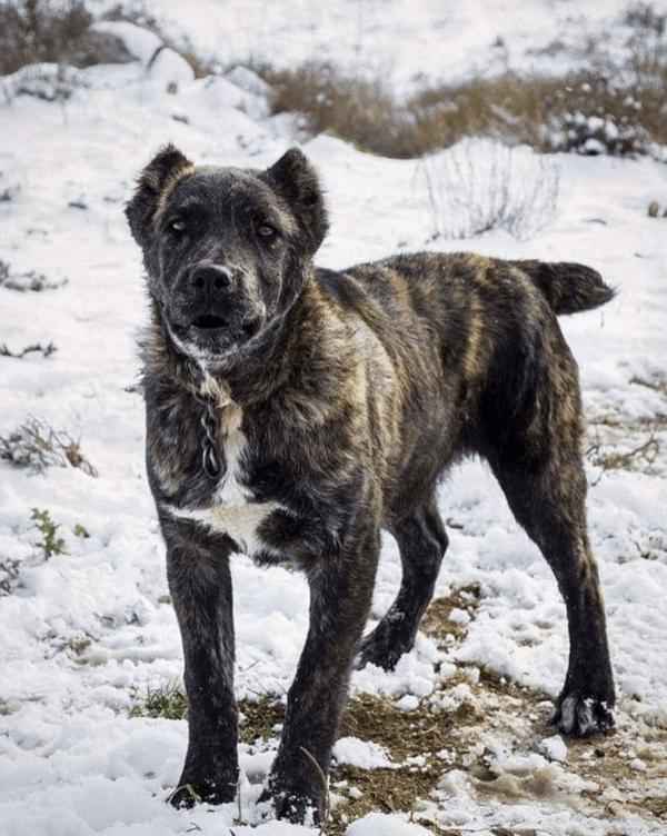 Tipos de Dogos: cuáles son y sus características Cerdeña