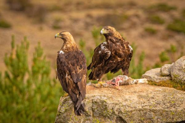 Cuales son las razas de animales protegidas en espana Águila imperial ibérica