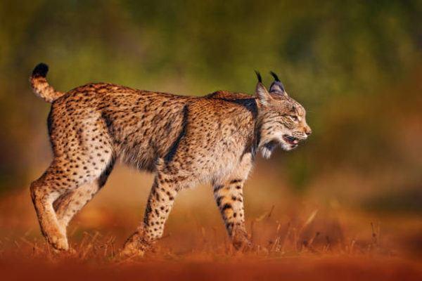 Cuales son las razas de animales protegidas en espana lince iberico