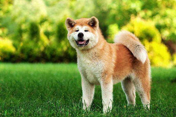 Los perros peligrosos o ppt que son cuales son los requisitos para poder tener uno y cual es el listado de perros peligrosos en espana en 2022 Akita Inu