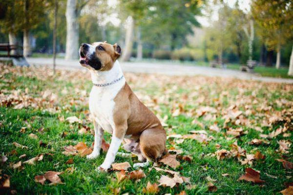 Los perros peligrosos o ppt que son cuales son los requisitos para poder tener uno y cual es el listado de perros peligrosos en espana en 2022 American Staffodshire Terrier