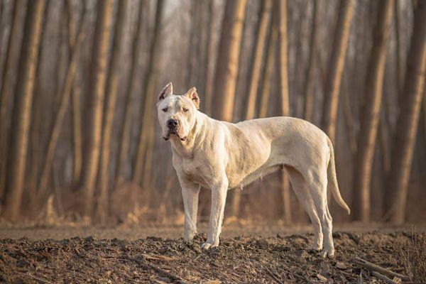 Los perros peligrosos o ppt que son cuales son los requisitos para poder tener uno y cual es el listado de perros peligrosos en espana en 2022 Dogo Argentino