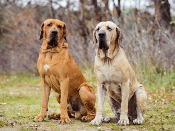 Los perros peligrosos o ppt que son cuales son los requisitos para poder tener uno y cual es el listado de perros peligrosos en espana en 2022 Fila Brasileiro