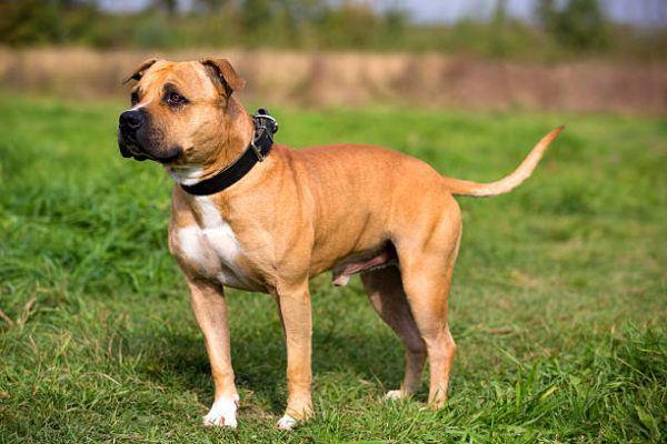 Los perros peligrosos o ppt que son cuales son los requisitos para poder tener uno y cual es el listado de perros peligrosos en espana en 2022 Staffordshire Bull Terrier