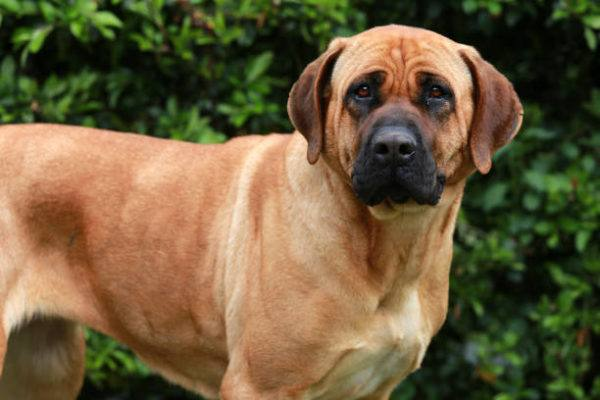 Los perros peligrosos o ppt que son cuales son los requisitos para poder tener uno y cual es el listado de perros peligrosos en espana en 2022 Tosa Inu