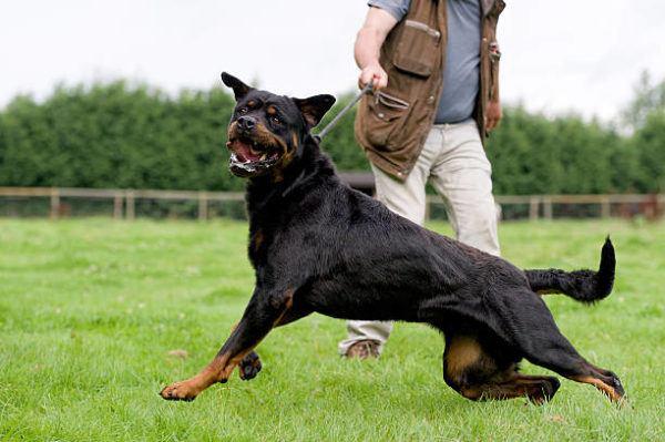 Los perros peligrosos o ppt que son cuales son los requisitos para poder tener uno y cual es listado de perros peligrosos en espana en 2022