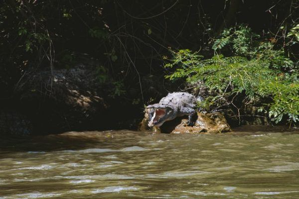 ¿Qué animales viven en el Rio Nilo? Caimán