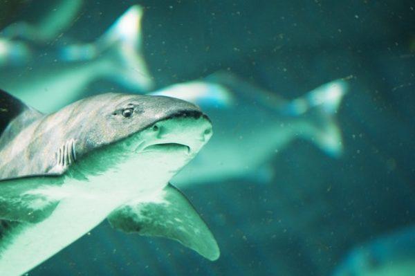 Tiburones: qué son, cómo se alimentan, dónde viven y cuáles son los más peligrosos blanco