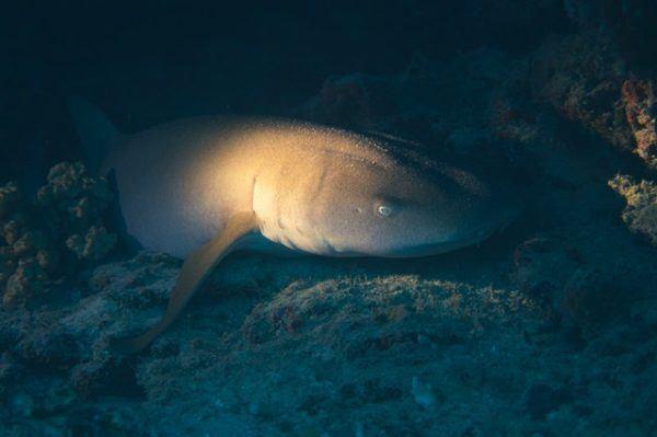 Tiburones: qué son, cómo se alimentan, dónde viven y cuáles son los más peligrosos caza