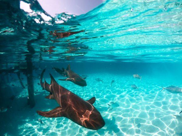 Tiburones: qué son, cómo se alimentan, dónde viven y cuáles son los más peligrosos humanos