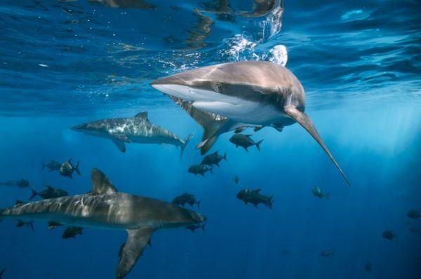 Tiburones: qué son, cómo se alimentan, dónde viven y cuáles son los más peligrosos peso