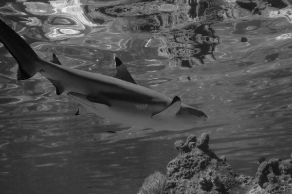 Tiburones: qué son, cómo se alimentan, dónde viven y cuáles son los más peligrosos playas